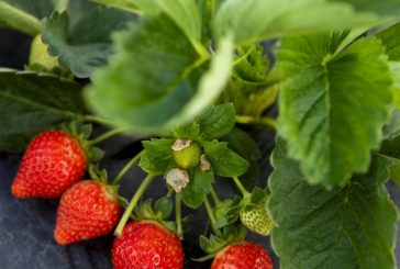 Robots may eventually help kill weeds that impede strawberry yield